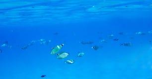 Mediterranean fish underwater. Called Sparlotti in italian langu Stock Image