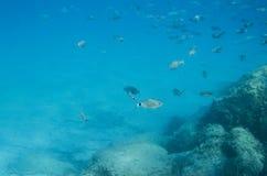 Mediterranean fish underwater. Called Sparlotti in italian langu Stock Photography