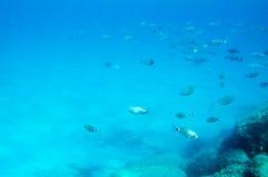 Mediterranean fish underwater. Called Sparlotti in italian langu Stock Images