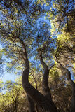 Mediterranean Forest. Maritime Pines and blue sky Stock Photo