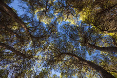 Mediterranean Forest. Maritime Pines and blue sky Stock Images