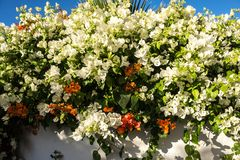 Mediterranean garden. Picturesque hedge from blossoming bougainvillea. Summer tropical garden. A picturesque blossoming hedge of bougainvillea bush. Summer in stock photos