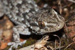 Mediterranean gecko stock photography