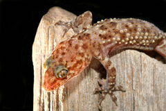 Mediterranean Gecko Closeup Stock Photos