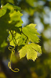 Mediterranean grape vine leaves being back lit Royalty Free Stock Photography