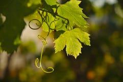 Mediterranean grape vine leaves being back lit Royalty Free Stock Photos