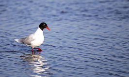 Mediterranean gull on Blue Waters Royalty Free Stock Images