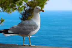 Mediterranean gull. Gull breeds on a rocky coast or on the rocky and sandy Islands just off the coast of Royalty Free Stock Photography