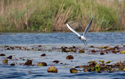 Mediterranean gull Stock Image