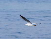 Mediterranean Gull flies above the surface of the Mediterranean Royalty Free Stock Photos