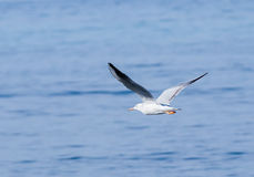 Mediterranean Gull flies above the surface of the Mediterranean Stock Photography