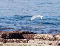 Mediterranean Gull flies above the surface of the Mediterranean Stock Photo