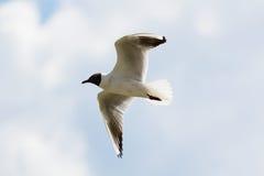 Mediterranean gull in flight Stock Photography