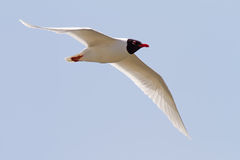 Mediterranean Gull Flying Royalty Free Stock Photo