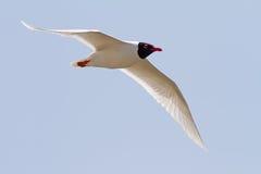Mediterranean Gull Flying Royalty Free Stock Photo