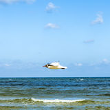Mediterranean gull flying over the ocean Stock Image