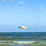 Mediterranean gull flying over the ocean Stock Image