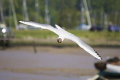 Mediterranean gull Royalty Free Stock Photo