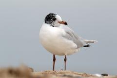 Mediterranean gull, Larus melanocephalus Stock Image