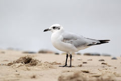 Mediterranean gull, Larus melanocephalus Stock Photography