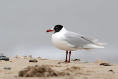 Mediterranean gull, Larus melanocephalus Royalty Free Stock Image