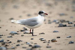 Mediterranean gull, Larus melanocephalus Royalty Free Stock Photography