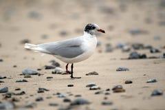 Mediterranean gull, Larus melanocephalus Royalty Free Stock Photography