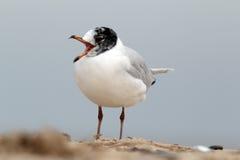 Mediterranean gull, Larus melanocephalus Royalty Free Stock Photo