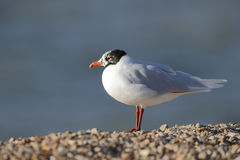 Mediterranean gull, Larus melanocephalus Royalty Free Stock Photo