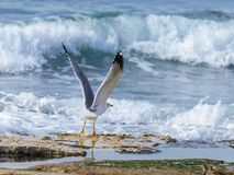 Mediterranean Gull -Larus michahellis -takes off from the rocks on the  coast of the Mediterranean Sea. Mediterranean Gull -Larus michahellis -takes off from the Royalty Free Stock Photos