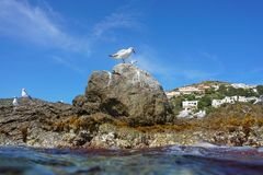 Mediterranean gull on a rocky seashore Royalty Free Stock Image