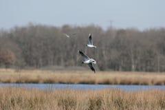 Mediterranean Gulls in nature field Boerveense Plassen Stock Image