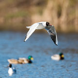 Mediterranean Gulls in small natural lake Stock Images
