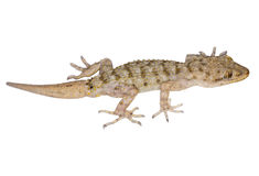 Free Mediterranean House Gecko Stock Images - 91827944