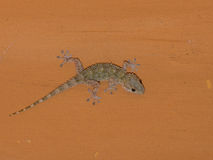 Mediterranean house gecko  on the ceiling at night Royalty Free Stock Image