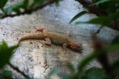 Mediterranean house gecko stock photo