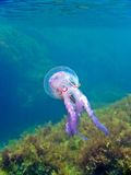 Mediterranean jellyfish Stock Image