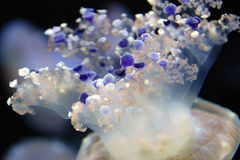 Mediterranean jellyfish. At the monterey aquarium Royalty Free Stock Photography
