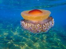 Free Mediterranean Jellyfish . Jellyfish In Mediterranean Sea Royalty Free Stock Photo - 196075745