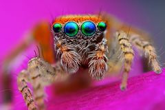 Mediterranean jumping spider Royalty Free Stock Photos