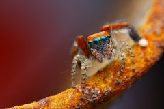 Mediterranean jumping spider (Saitis barbipes) Royalty Free Stock Image