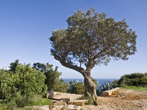Mediterranean Landscape. Olive tree on a mountain next to some ruins, with the sea beyond. Typical Mediterranean landscape Royalty Free Stock Image
