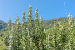 Blooming rosemary bushes. Mediterranean landscape with blue sky and blooming rosemary bushes royalty free stock photography