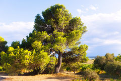 Mediterranean landscape with pine Stock Photo