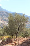 Mediterranean Landscape. A view through a Mediterranean olive grove to the mountains in the background in a hot dusty environment Stock Photo