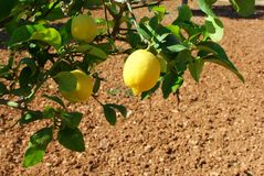 Mediterranean lemon tree Royalty Free Stock Photography
