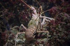 Mediterranean lobster while hunting underwater Royalty Free Stock Image