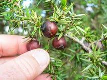 Mediterranean maquis. Juniperus macrocarpa Royalty Free Stock Photo