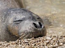 Mediterranean monk seal Royalty Free Stock Photography