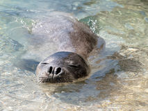 Mediterranean monk seal Stock Photography